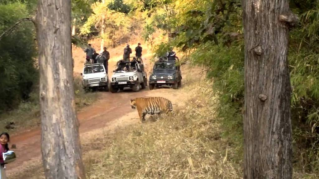Tadoba National Park Tigers
