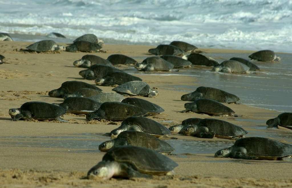Turtle Nesting Goa