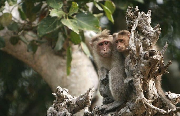 Bandipur National Park Monkeys