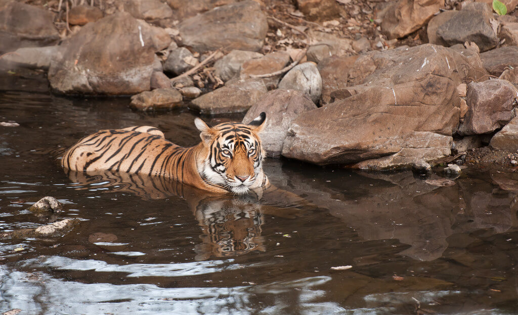 Tiger Resting at Ranthambore