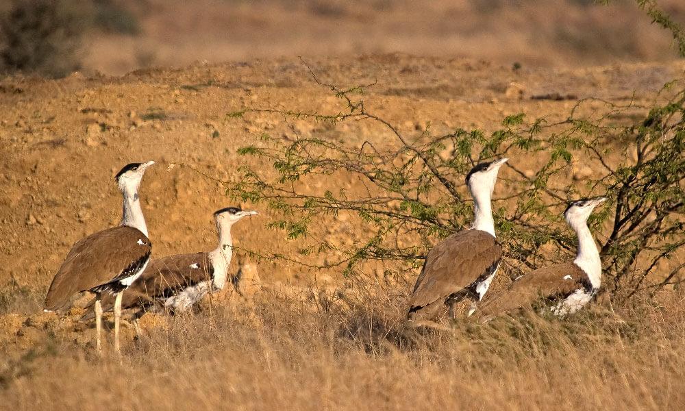 Desert National Park, Jaisalmer