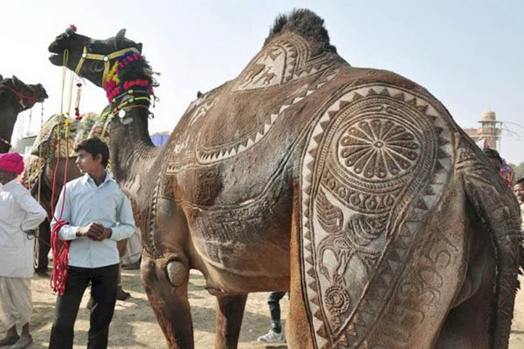 Camel Beautiful, Pushkar