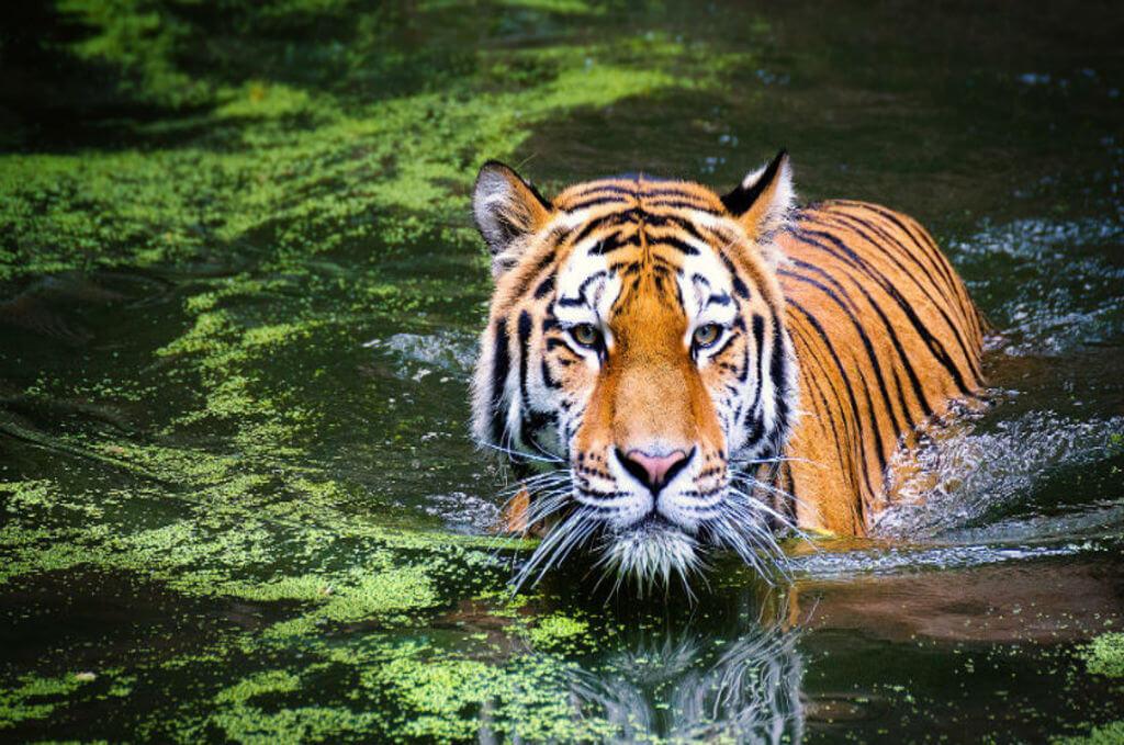 Ranthambore National Park (Rajasthan)?, Tiger Safari